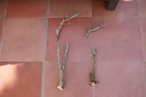 Recuperación y evolución de dos olivos yamadori (2014 - ACTUALIDAD) Th_985817423_P1080571_122_589lo